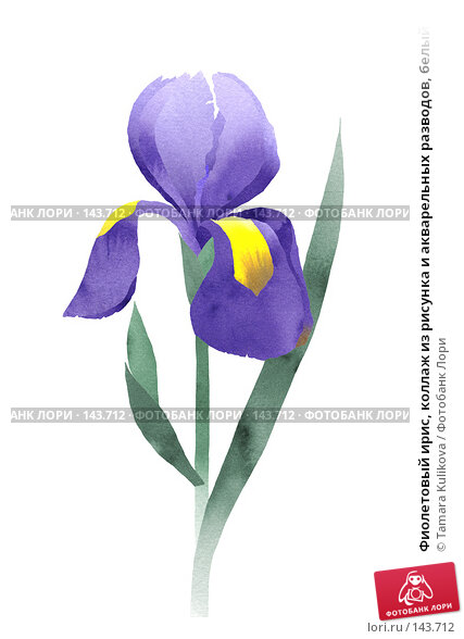 Фиолетовый ирис, коллаж из рисунка и акварельных разводов, белый фон, иллюстрация № 143712 (c) Tamara Kulikova / Фотобанк Лори