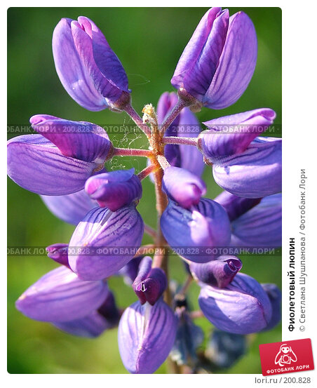 Купить «Фиолетовый люпин», фото № 200828, снято 25 июня 2005 г. (c) Светлана Шушпанова / Фотобанк Лори