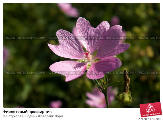 Фиолетовый просвирник, фото № 176208, снято 1 августа 2007 г. (c) Петухов Геннадий / Фотобанк Лори