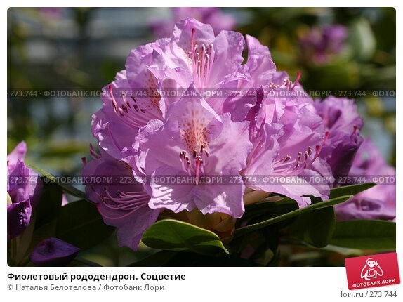 Фиолетовый рододендрон. Соцветие, фото № 273744, снято 3 мая 2008 г. (c) Наталья Белотелова / Фотобанк Лори