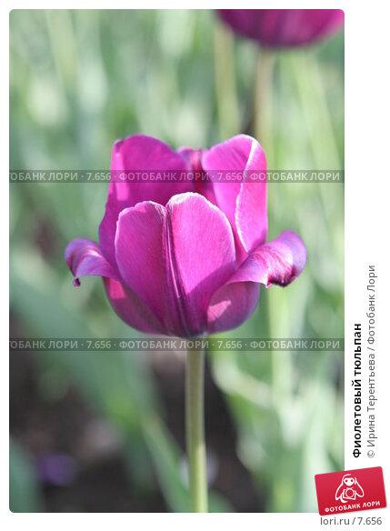 Фиолетовый тюльпан, эксклюзивное фото № 7656, снято 1 июня 2006 г. (c) Ирина Терентьева / Фотобанк Лори