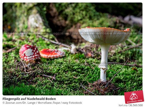 Fliegenpilz auf Nadelwald Boden. Стоковое фото, фотограф Zoonar.com/Dr. Lange / easy Fotostock / Фотобанк Лори