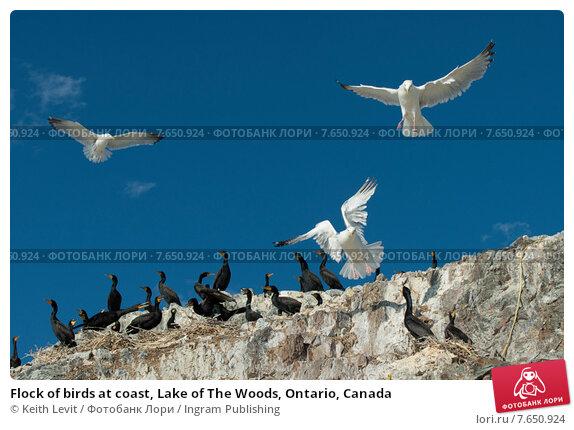 Купить «Flock of birds at coast, Lake of The Woods, Ontario, Canada», фото № 7650924, снято 18 июля 2013 г. (c) Ingram Publishing / Фотобанк Лори