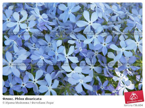 Купить «Флокс. Phlox divaricata», эксклюзивное фото № 56604, снято 12 мая 2007 г. (c) Ирина Мойсеева / Фотобанк Лори