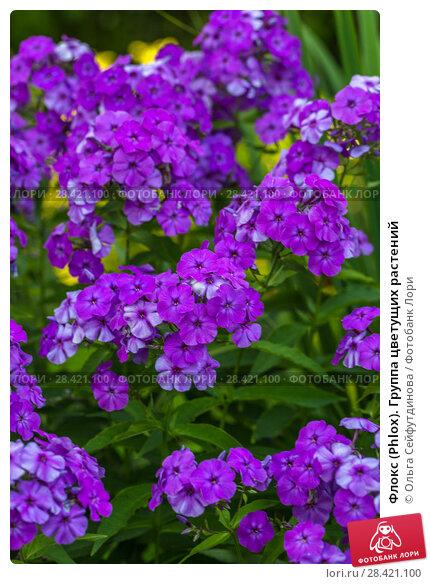 Купить «Флокс (Phlox). Группа цветущих растений», фото № 28421100, снято 13 августа 2017 г. (c) Ольга Сейфутдинова / Фотобанк Лори