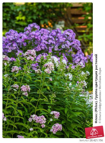 Купить «Флокс (Phlox). Группа цветущих растений», фото № 28421156, снято 20 августа 2017 г. (c) Ольга Сейфутдинова / Фотобанк Лори