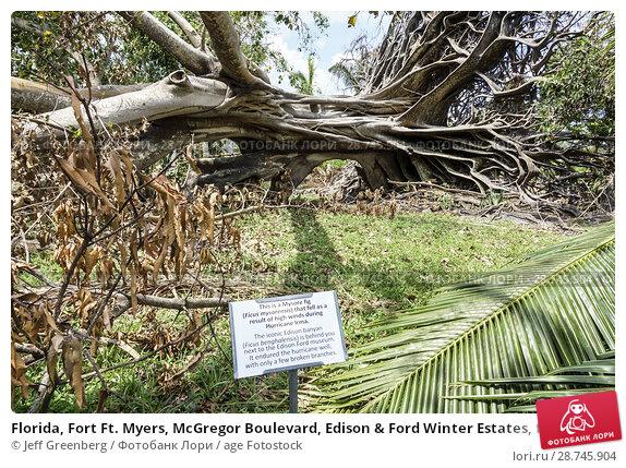 Купить «Florida, Fort Ft. Myers, McGregor Boulevard, Edison & Ford Winter Estates, fallen giant Mysore fig Ficus myorensis tree, exposed root system, Hurricane Irma storm wind damage destruction aftermath,», фото № 28745904, снято 25 сентября 2017 г. (c) age Fotostock / Фотобанк Лори