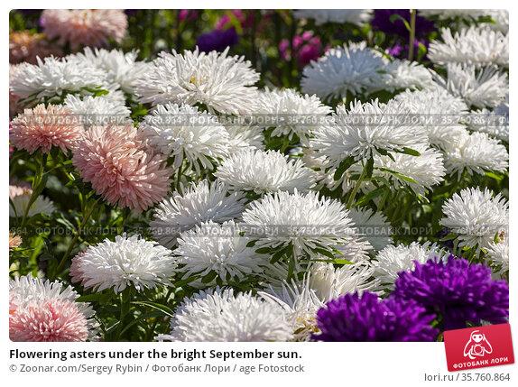 Flowering asters under the bright September sun. Стоковое фото, фотограф Zoonar.com/Sergey Rybin / age Fotostock / Фотобанк Лори