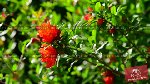 Купить «Flowering pomegranate bush with a red flowers», видеоролик № 30985272, снято 13 июня 2019 г. (c) Володина Ольга / Фотобанк Лори