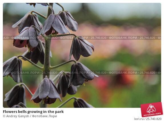 Купить «Flowers bells growing in the park», фото № 25740820, снято 2 мая 2012 г. (c) Andrey Ganysh / Фотобанк Лори