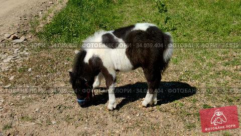 Foal is grazed outdoor. rural scene. Стоковое видео, видеограф Ильин Сергей / Фотобанк Лори