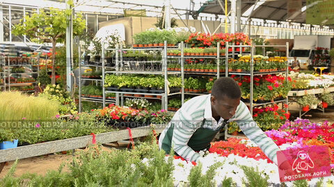 Купить «Focused African American florist examining begonia plants while gardening in glasshouse», видеоролик № 31842380, снято 28 мая 2019 г. (c) Яков Филимонов / Фотобанк Лори