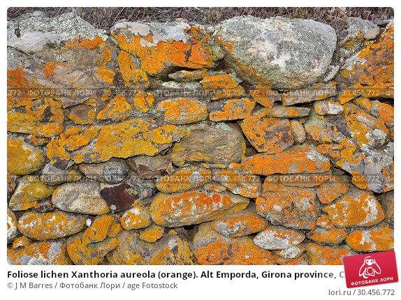 Foliose lichen Xanthoria aureola (orange). Alt Emporda, Girona province, Catalonia, Spain. Стоковое фото, фотограф J M Barres / age Fotostock / Фотобанк Лори