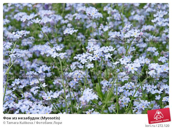 Фон из незабудок (Myosotis), фото № 272120, снято 4 мая 2008 г. (c) Tamara Kulikova / Фотобанк Лори