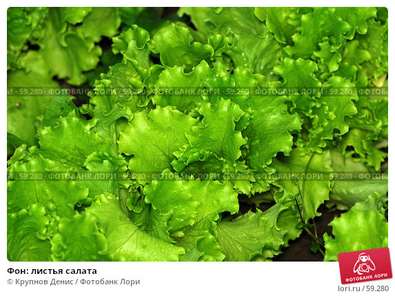 Фон: листья салата, фото № 59280, снято 30 мая 2007 г. (c) Крупнов Денис / Фотобанк Лори