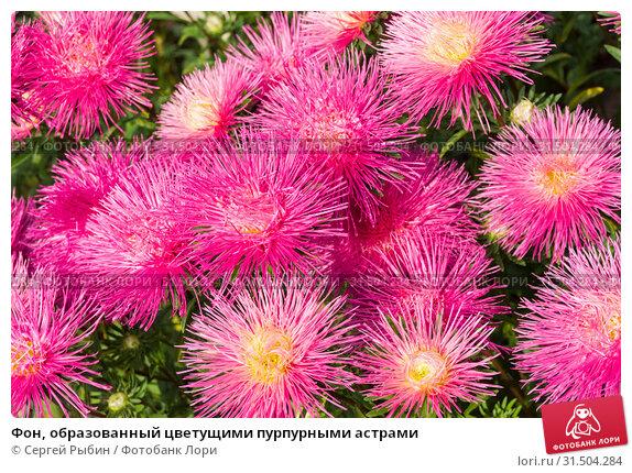 Купить «Фон, образованный цветущими пурпурными астрами», фото № 31504284, снято 10 сентября 2018 г. (c) Сергей Рыбин / Фотобанк Лори