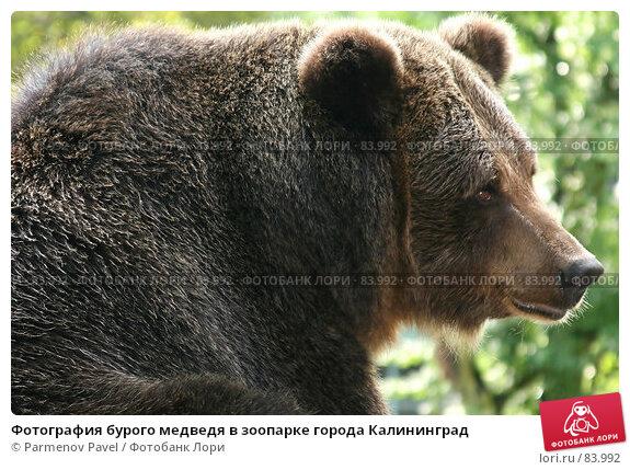 Купить «Фотография бурого медведя в зоопарке города Калининград», фото № 83992, снято 24 ноября 2017 г. (c) Parmenov Pavel / Фотобанк Лори