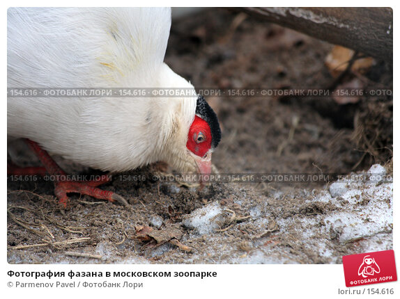 Купить «Фотография фазана в московском зоопарке», фото № 154616, снято 11 декабря 2007 г. (c) Parmenov Pavel / Фотобанк Лори