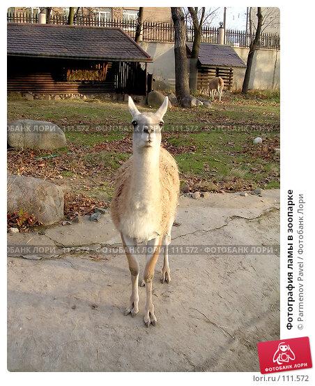 Фотография ламы в зоопарке, фото № 111572, снято 8 ноября 2004 г. (c) Parmenov Pavel / Фотобанк Лори