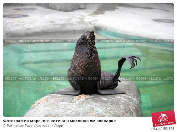 Фотография морского котика в московском зоопарке, фото № 153876, снято 11 декабря 2007 г. (c) Parmenov Pavel / Фотобанк Лори
