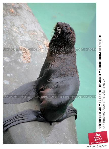 Фотография морского котика в московском зоопарке, фото № 154592, снято 11 декабря 2007 г. (c) Parmenov Pavel / Фотобанк Лори