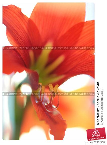 Фрагмент красной лилии, фото № 272508, снято 30 апреля 2008 г. (c) Astroid / Фотобанк Лори