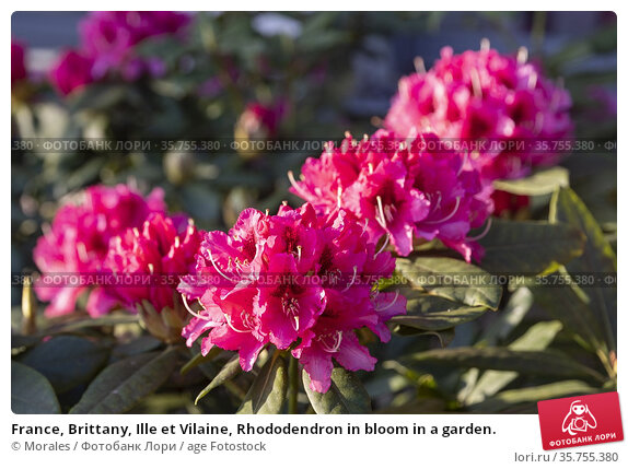 France, Brittany, Ille et Vilaine, Rhododendron in bloom in a garden. Стоковое фото, фотограф Morales / age Fotostock / Фотобанк Лори
