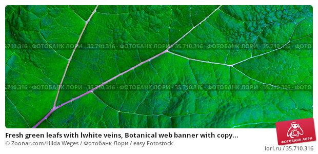 Fresh green leafs with lwhite veins, Botanical web banner with copy... Стоковое фото, фотограф Zoonar.com/Hilda Weges / easy Fotostock / Фотобанк Лори