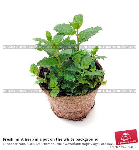 Fresh mint herb in a pot on the white background. Стоковое фото, фотограф Zoonar.com/BONZAMI Emmanuelle / age Fotostock / Фотобанк Лори