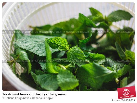 Fresh mint leaves in the dryer for greens. Стоковое фото, фотограф Tetiana Chugunova / Фотобанк Лори
