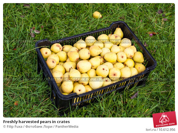 Freshly harvested pears in crates . Стоковое фото, фотограф Filip Fuxa / PantherMedia / Фотобанк Лори