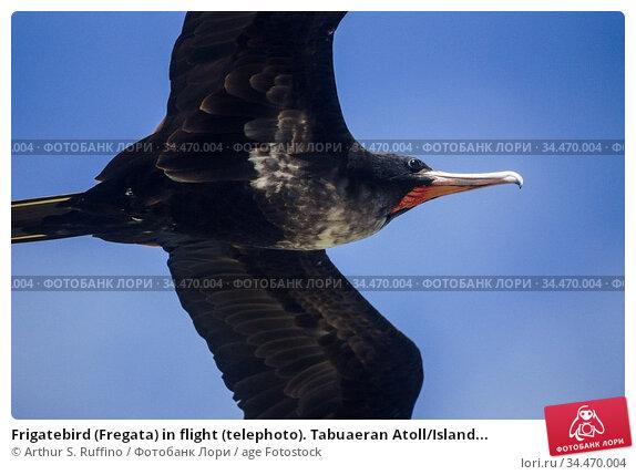 Frigatebird (Fregata) in flight (telephoto). Tabuaeran Atoll/Island... Стоковое фото, фотограф Arthur S. Ruffino / age Fotostock / Фотобанк Лори