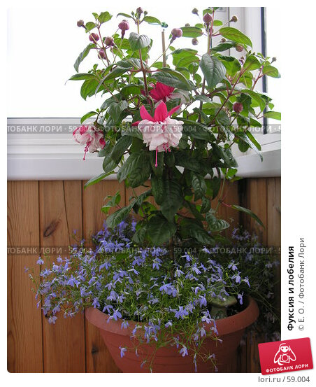 Купить «Фуксия и лобелия», фото № 59004, снято 8 июля 2007 г. (c) Екатерина Овсянникова / Фотобанк Лори
