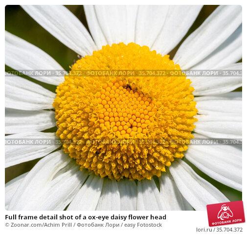 Full frame detail shot of a ox-eye daisy flower head. Стоковое фото, фотограф Zoonar.com/Achim Prill / easy Fotostock / Фотобанк Лори