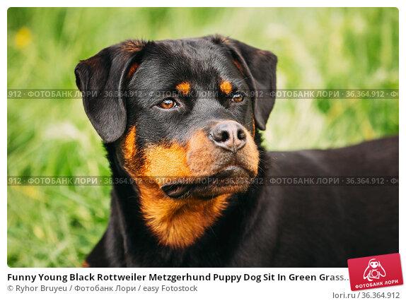 Funny Young Black Rottweiler Metzgerhund Puppy Dog Sit In Green Grass... Стоковое фото, фотограф Ryhor Bruyeu / easy Fotostock / Фотобанк Лори