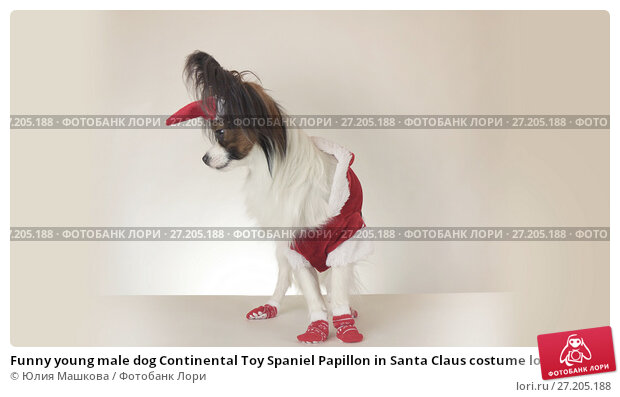 Купить «Funny young male dog Continental Toy Spaniel Papillon in Santa Claus costume looks around on white background», фото № 27205188, снято 22 ноября 2017 г. (c) Юлия Машкова / Фотобанк Лори