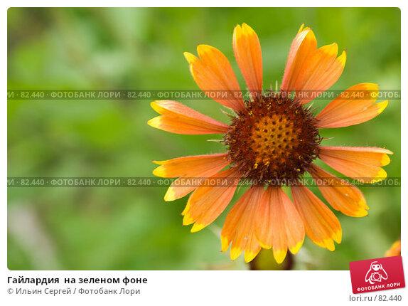 Гайлардия  на зеленом фоне, фото № 82440, снято 16 августа 2006 г. (c) Ильин Сергей / Фотобанк Лори