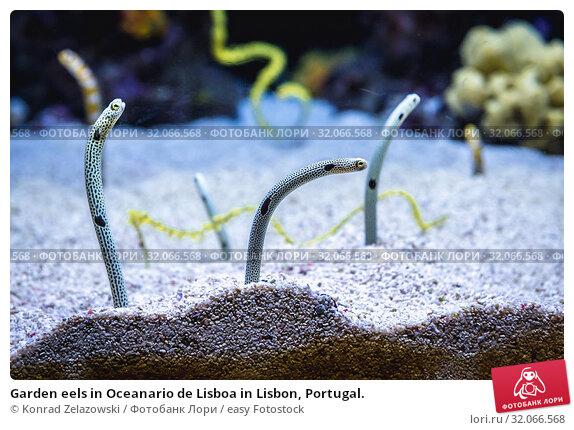 Garden eels in Oceanario de Lisboa in Lisbon, Portugal. Стоковое фото, фотограф Konrad Zelazowski / easy Fotostock / Фотобанк Лори