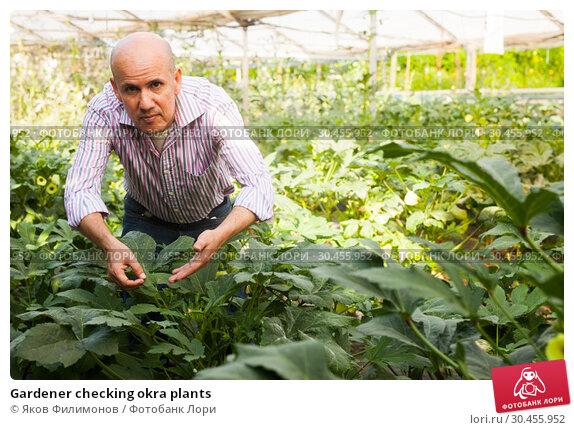 Gardener checking okra plants. Стоковое фото, фотограф Яков Филимонов / Фотобанк Лори