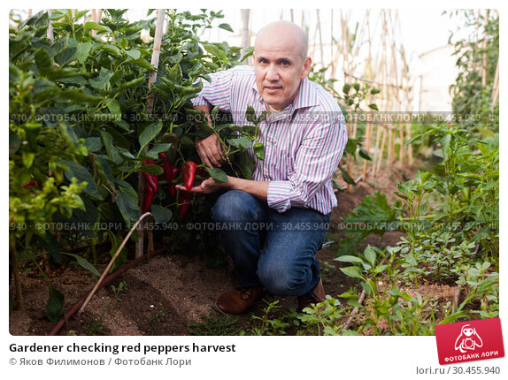 Gardener checking red peppers harvest. Стоковое фото, фотограф Яков Филимонов / Фотобанк Лори