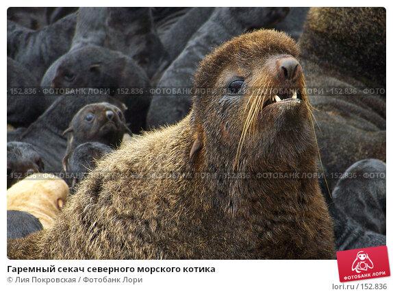 Гаремный секач северного морского котика, фото № 152836, снято 11 августа 2007 г. (c) Лия Покровская / Фотобанк Лори