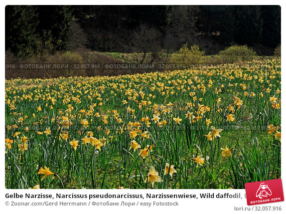 Gelbe Narzisse, Narcissus pseudonarcissus, Narzissenwiese, Wild daffodil, Lent lily. Стоковое фото, фотограф Zoonar.com/Gerd Herrmann / easy Fotostock / Фотобанк Лори