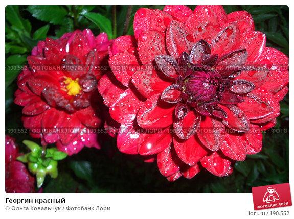 Георгин красный, фото № 190552, снято 14 августа 2004 г. (c) Ольга Ковальчук / Фотобанк Лори
