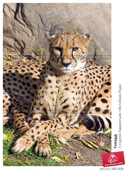 Купить «Гепард», фото № 481428, снято 26 сентября 2008 г. (c) Сергей Лаврентьев / Фотобанк Лори