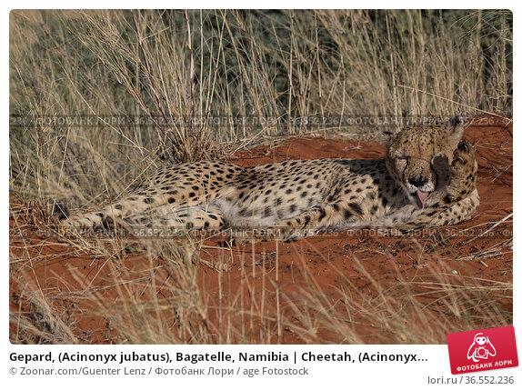 Gepard, (Acinonyx jubatus), Bagatelle, Namibia | Cheetah, (Acinonyx... Стоковое фото, фотограф Zoonar.com/Guenter Lenz / age Fotostock / Фотобанк Лори