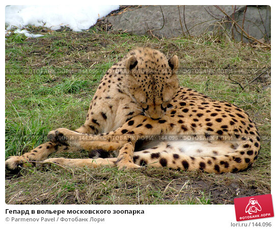 Гепард в вольере московского зоопарка, фото № 144096, снято 9 марта 2007 г. (c) Parmenov Pavel / Фотобанк Лори