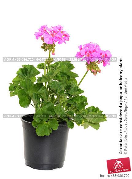 Купить «Geranias are considered a popular balcony plant», фото № 33086720, снято 17 февраля 2020 г. (c) PantherMedia / Фотобанк Лори