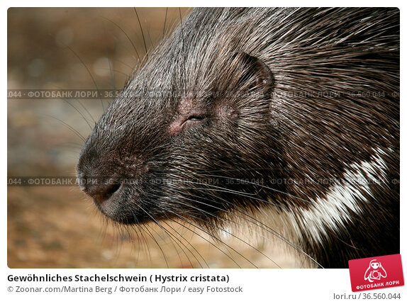 Gewöhnliches Stachelschwein ( Hystrix cristata) Стоковое фото, фотограф Zoonar.com/Martina Berg / easy Fotostock / Фотобанк Лори