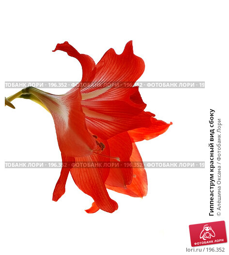 Гиппеаструм красный вид сбоку, эксклюзивное фото № 196352, снято 24 января 2008 г. (c) Алёшина Оксана / Фотобанк Лори