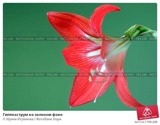 Гиппеаструм на зеленом фоне, фото № 194240, снято 30 мая 2007 г. (c) Ирина Игумнова / Фотобанк Лори